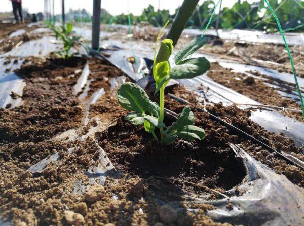 スナップエンドウとそら豆を植替えしました。~「たねのこプロジェクト」第2回レポート