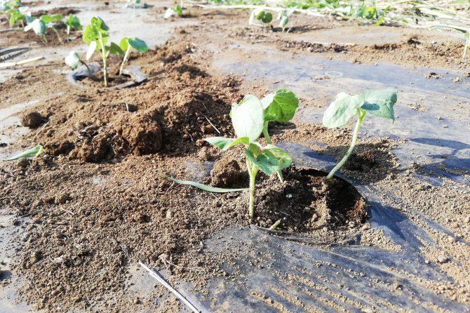 夏野菜育ってます!〜たねのこプロジェクト